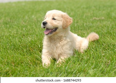 A shallow focus shot of a cute Golden Retriever puppy resting on a grass ground with a blurred background