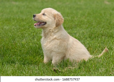 A shallow focus shot of a cute Golden Retriever puppy sitting on a grass ground with a blurred background