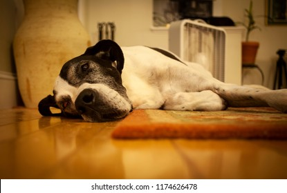 A shallow focus shot of the face of a Great Dane lying on a hard wood floor in front of a fan trying to cool off from the ongoing oppressive heat wave.