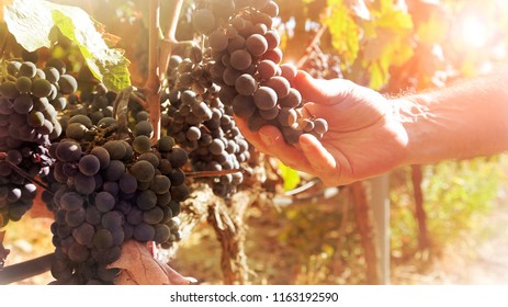 Shallow focus and soft sunlight against farmer hand taking care of cluster grapes