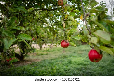 Shallow focus view of an isolated red cider Apple seen located on a cider orchard in Britain out of focus Apple can be seen in the foreground, the image taken in autumn.
