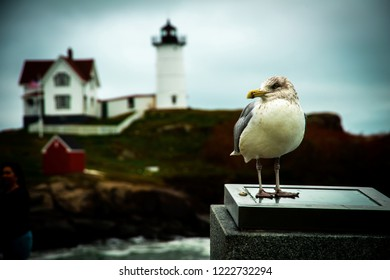 A shallow focused shot of an Atlantic Seagull standing on marble post with the Nubble Lighthouse out of focus in the background.  Seagulls frequently fly and land around this iconic landmark.