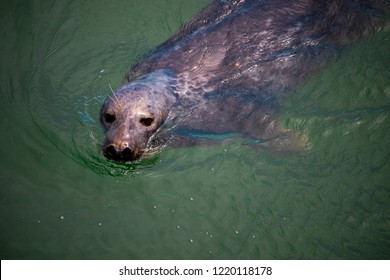 A shallow focused shot of the face of a Gray Harbor Seal as it swims with its head out of the water.  Harbor Seals are very common in New England.