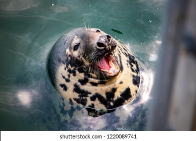 a shallow focused shot of a Gray Harbor Seal's face with its open mouth floating in the Chatam Harbor.