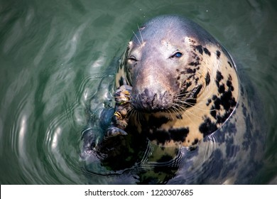 A shallow focused shot of a gray harbor seal scratching a section of it face by the mouth and whiskers.  The seal appears to be relaxing in the water while floats around.