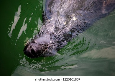 A shallow focused shot of the nose, mouth and whiskers of a Gray Harbor Seal along the surface of the water as it swims playfully upside down in a New England Harbor.
