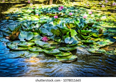 shallow view of water lilies under shadows