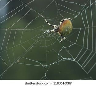 Shamrock Orb Spider on a web
