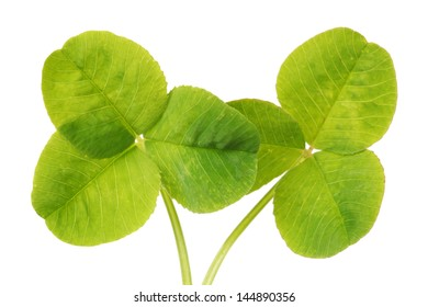 Shamrock,three leaf clover on white background
