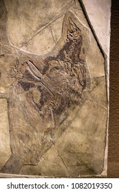Shanghai, China - April 13 2018, fossil of Confuciusornis at Shanghai Natural History Museum. Confuciusornis is a primitive bird from the Early Cretaceous. It is the oldest known bird to have a beak.