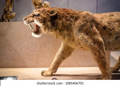 Shanghai, China - April 13 2018, Realistic life size replica model of Smilodon saber toothed tiger (or saber toothed cat) at Shanghai Natural History Museum.