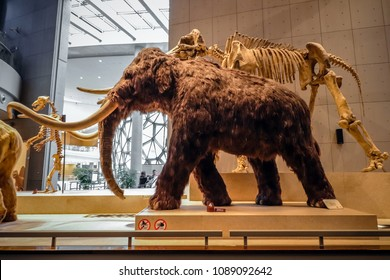 Shanghai, China - April 13 2018, Realistic life size replica model of Woolly Mammoth with skeleton fossil at Shanghai Natural History Museum.