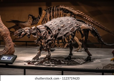 Shanghai, China - April 13 2018, fossil skeleton of Ankylosaurus a dinosaur with extremely thick plates of armor on its body at Shanghai Natural History Museum.