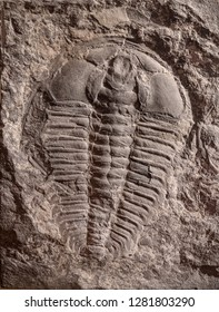 Shanghai, China - April 13 2018, Fossil of Trilobite or Trilobita one of the earliest arthropods on earth at Shanghai Natural History Museum.
