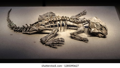 Shanghai, China - April 13 2018, fossil of Psittacosaurus at Shanghai Natural History Museum.Psittacosaurus is a ceratopsian dinosaur from the Early Cretaceous. Psittacosaurus mean parrot lizard.
