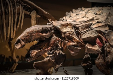 Shanghai, China - April 15 2018, fossil skeleton of Ankylosaurus a dinosaur with extremely thick plates of armor on its body at Shanghai Natural History Museum.
