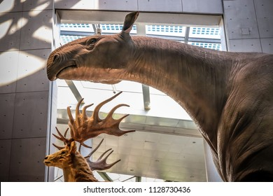 Shanghai, China - April 15 2018, Realistic life size replica model of Indricotherium or Paraceratherium the largest land mammals that has ever existed on earth at Shanghai Natural History Museum