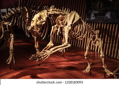 Shanghai, China - April 15 2018, Fossil of Smilodon at Shanghai Natural History Museum. Smilodon is an extinct saber toothed tiger (or saber toothed cat) which lived 2.5 million to 10,000 years ago.