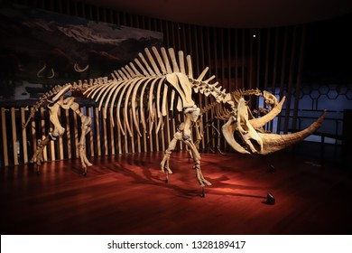 Shanghai, China - April 15 2018, Fossil of woolly rhinoceros (Coelodonta antiquitatis) at Shanghai Natural History Museum. Woolly rhinoceros extinct during last glacial period around 10,000 years ago.