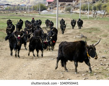 SHANGRI-LA, YUNNAN, CHINA, DECEMBER 15, 2010. A Tibetan woman drives a herd of black yaks (dzo) in from the fields on the edge of a small village.
