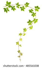 shape of question sign sprig of wild grape with green leaves isolated on a white background