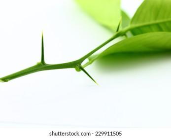 shape thorn of green leaf branch closeup