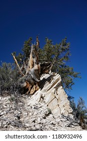 Shaped and gnarled by weather and extreme conditions, this Great Basin Bristlecone Pine tree is still alive, several thousand years old, at high elevation in the White Mountains of California.