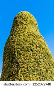 Shaped Yew tree topiary against a blue sky.