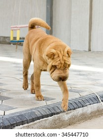 shar pei dog in the yard