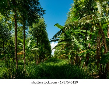 shared forest system, agroforestry, in the banana and eucalyptus view