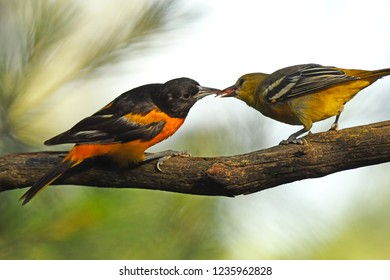 Sharing - Baltimore Orioles