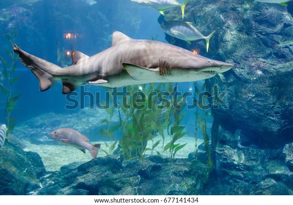 Shark in aquarium. Bangkok, Thailand.