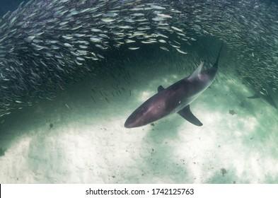 Shark attacking baitfish in feeding frenzy, Ningaloo Reef, Western Australia