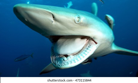 Shark big jaws
