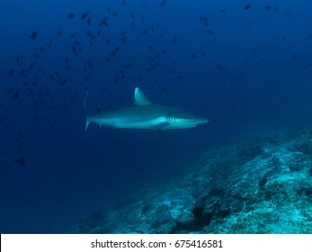 Shark in the blue
