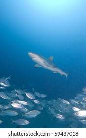 Shark in blue water with silver fish