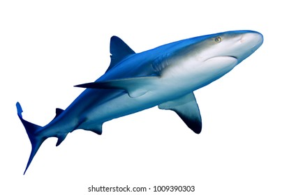 Shark cutout. Caribbean Reef Shark isolated white background
