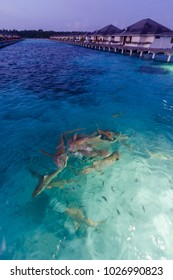 Shark feeding at dusk in turquoise sea with water bungalows in the background at Maldive