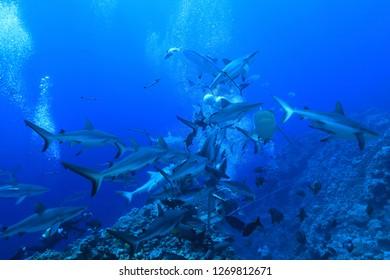 Shark feeding of Grey reef sharks underwater in the Great Barrier Reef of Australia
