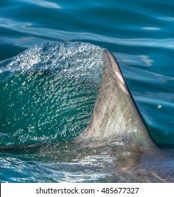 Shark fin above water. closeup Fin of a Great White Shark (Carcharodon carcharias) in ocean water.