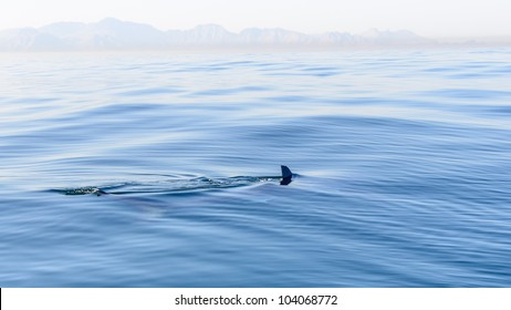 Shark fin breaking the surface of the sea in False Bay