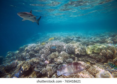 Shark at Great Barrier Reef