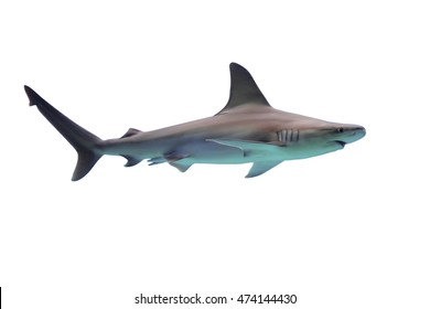 Shark isolated on white background