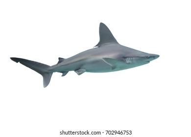 Shark isolated on white background