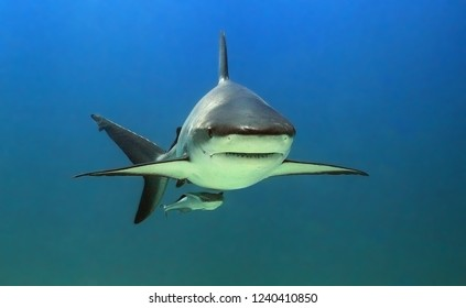 Shark portrait en face