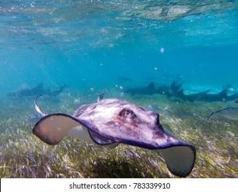 Shark Ray Ally Belize