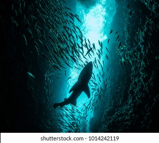 Shark in a school of fish shot from below