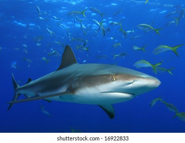 Shark and snappers
