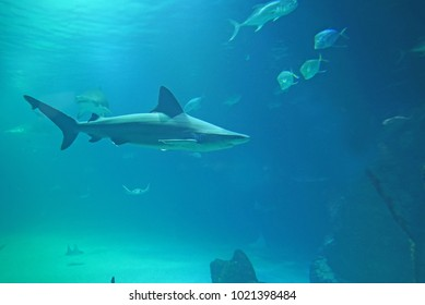 Shark swimming in blue sea