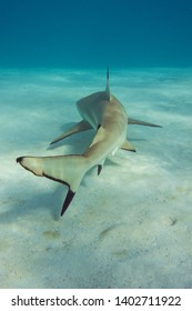 Shark swimming in clear tropical water